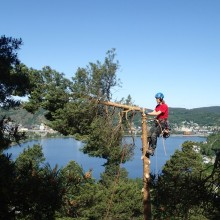 Topping av furu i Telemark før den sages ned